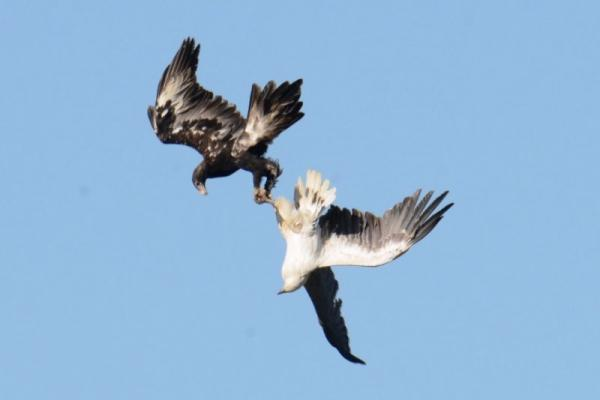 Eagles locked in combat at Inala (Photo: Neil Wingert).
