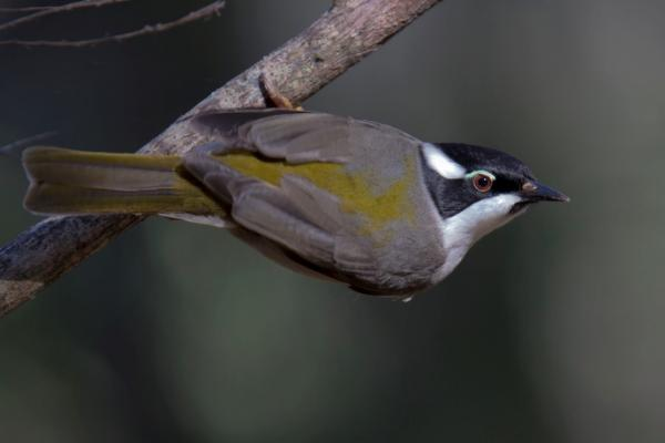 Strong-billed Honeyeater (Photo: Alan Fletcher)
