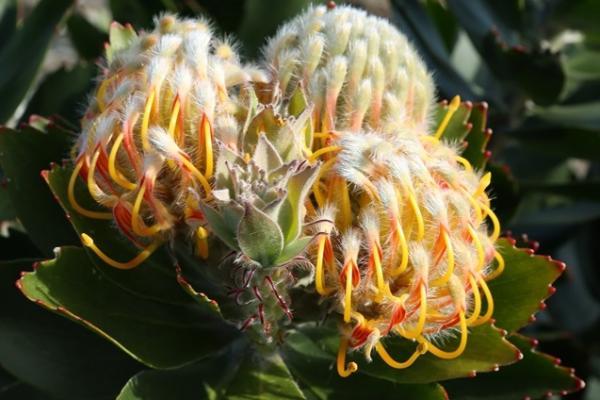Leucospermum sp. in Inala's Jurassic Garden.