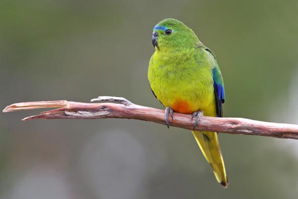 Orange-bellied Parrot, Photo: Chris Tzaros