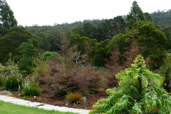 The Wollemi pine is thriving, and New Zealand Red Beeches behind.
