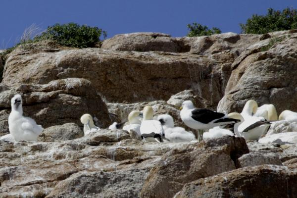 Gannet Breeding - Photograph Paul Brooks