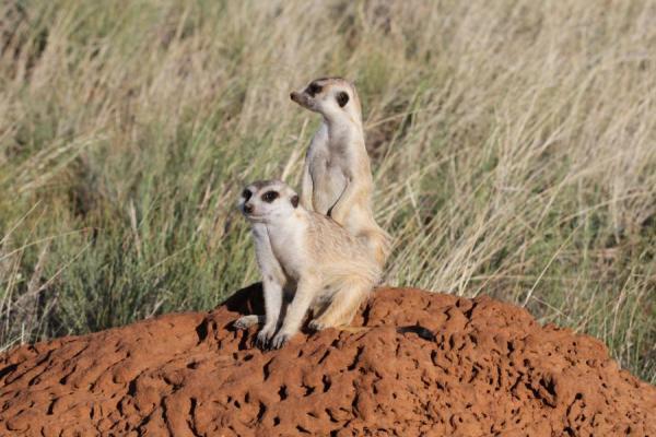 Inala Nature Tours - Meerkat - Richard White