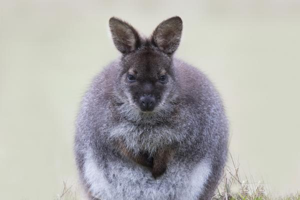Bennett's Wallaby - Craig Greer - Inala Nature Tours