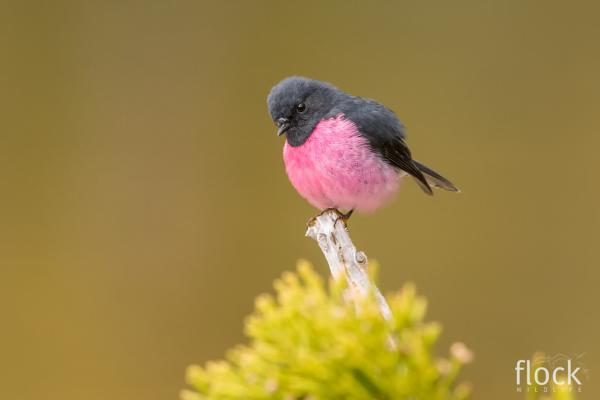 Pink Robin - David Stowe - Inala Nature Tours