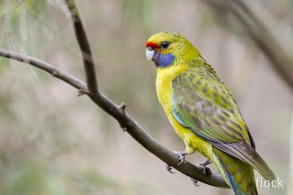 Green Rosella - David Stowe - Inala Nature Tours