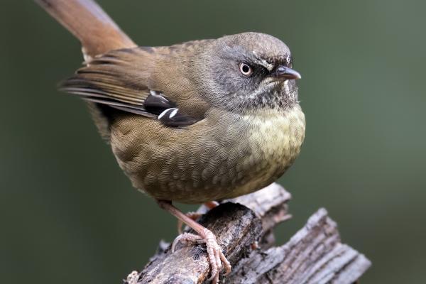 Scrub Wren - Craig Greer - Inala Nature Tours