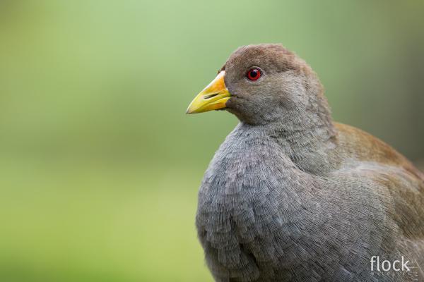 Native Hen - David Stowe - Inala Nature Tours