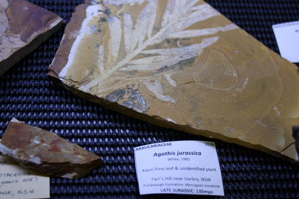 Araucarian fossil related to Wollemi and Kauri pines