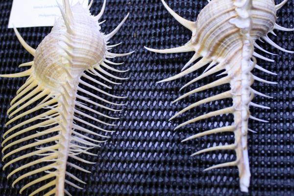 Comb murex shells