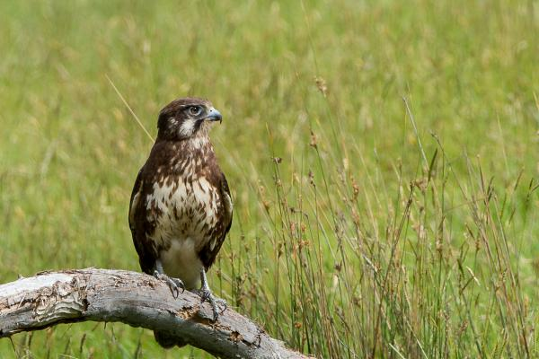 Alfred Schulte, Brown Falcon - Inala Nature Tours