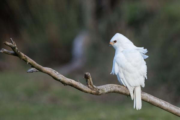White Goshawk, Alfred Schulte - Inala Nature Tours
