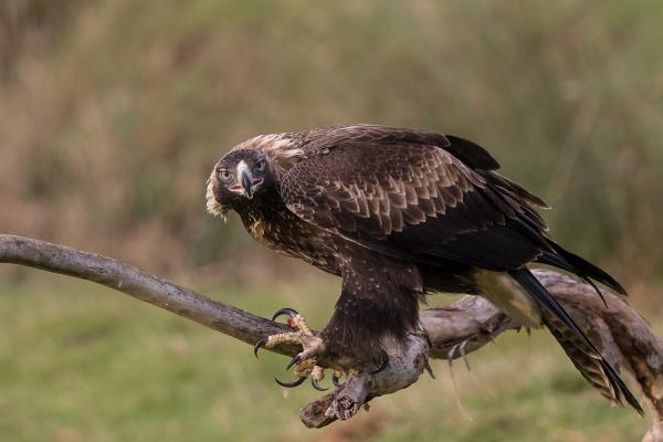Alfred Schulte, Wedge-Tailed Eagle (Tasmanian) - Inala Nature Tours