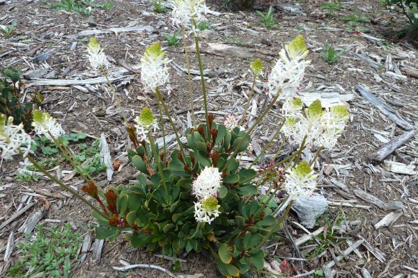 Bellendena montana - Inala Gondwana Garden
