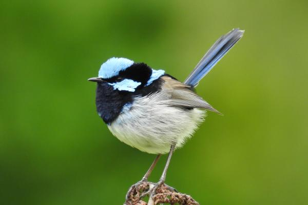 Superb Fairy Wren at Inala's Conservation Reserve - Photographer Cat Davidson