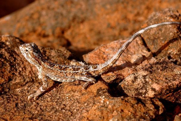 Rock Dragon, Central Australia, Daniela Brozek Cordier