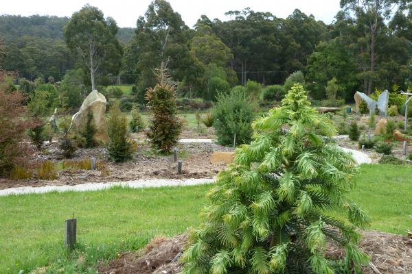 Wollemi Pine - Inala Gondwana Garden