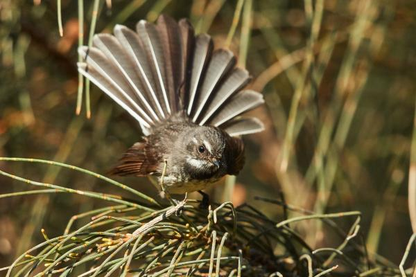 Cindy Marple - Inala Nature Tours - Grey Fantail