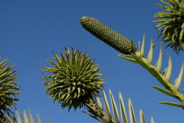 Wollemia nobilis - Wollemi Pine - Inala Jurassic Garden