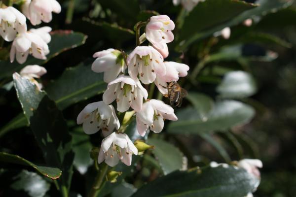 Anopterus glandulosus - Native Laurel - Southern Pink - Inala Jurassic Garden