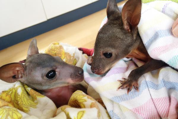 Inala, Orphaned Wallabies - Inala Nature Tours