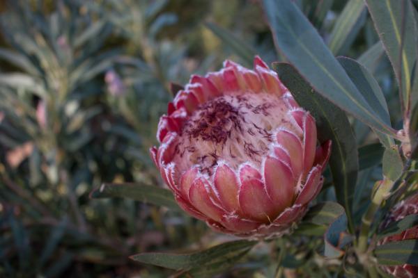 Protea magnifica x P. pudens hybrid - Protea Juliet - Inala Jurassic Garden