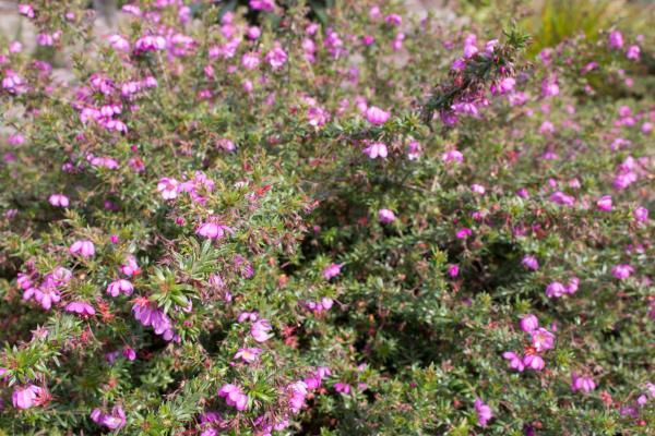 Bauera rubioides - Wiry Bauera - Trial Harbour Pink - Inala Jurassic Garden