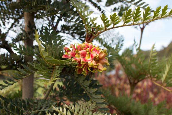 Lomatia ferruginea - Fuinque - Inala Jurassic Garden