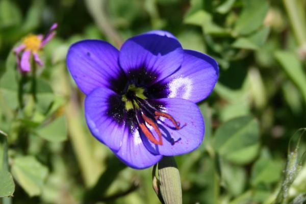 Nieuwoudtville, Geissorhiza splendidissima
