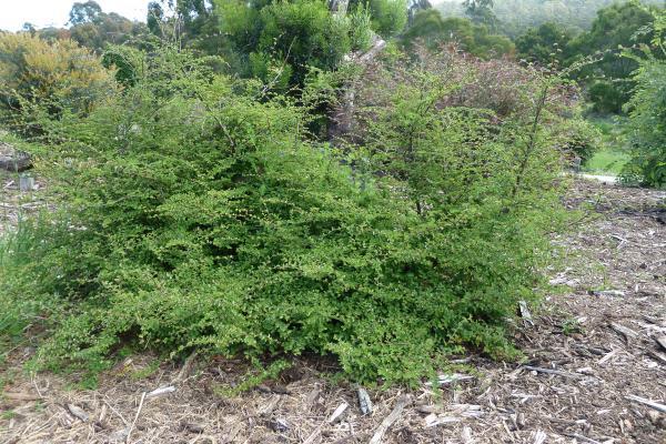Nothofagus antarctica - Inala Gondwana Garden