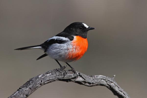 Scarlet Robin - Inala Nature Tours
