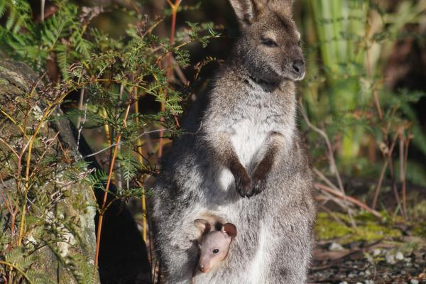 Bennetts Wallaby, Inala, Joey - Inala Nature Tours