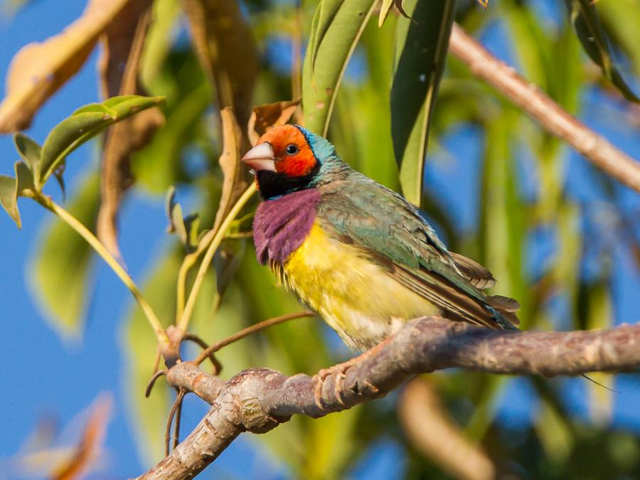 Gouldian Finch - Alfred Schulte - Inala Nature Tours