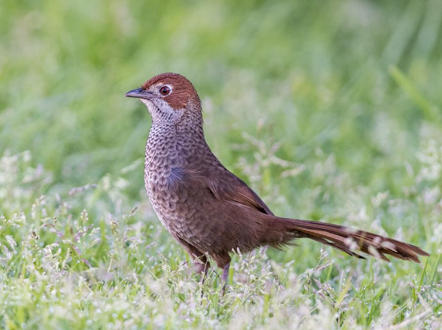 Rufous Bristlebird - Inala Nature Tours - Photographer Dennis Braddy