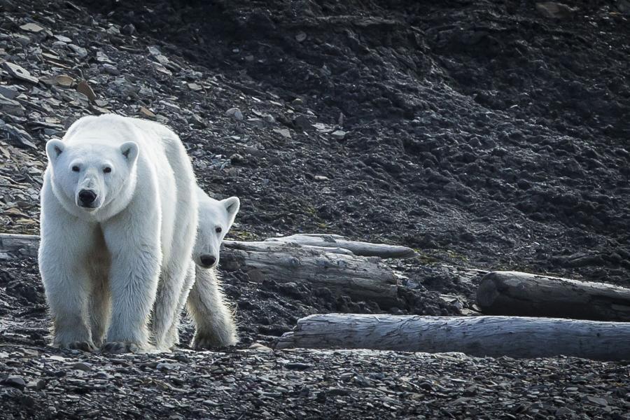 Polar Bear - Scott Davis