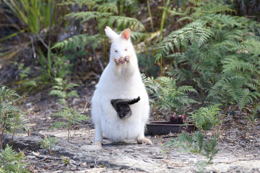 White Bennett's Wallaby - Photograph by Doug Holden - Inala Nature Tours