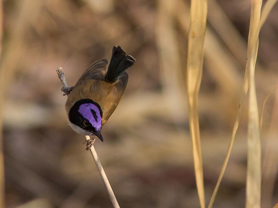 Purple-Crowned Fairy-Wren - Photograph by Alfred Schulte - Inala Nature Tours