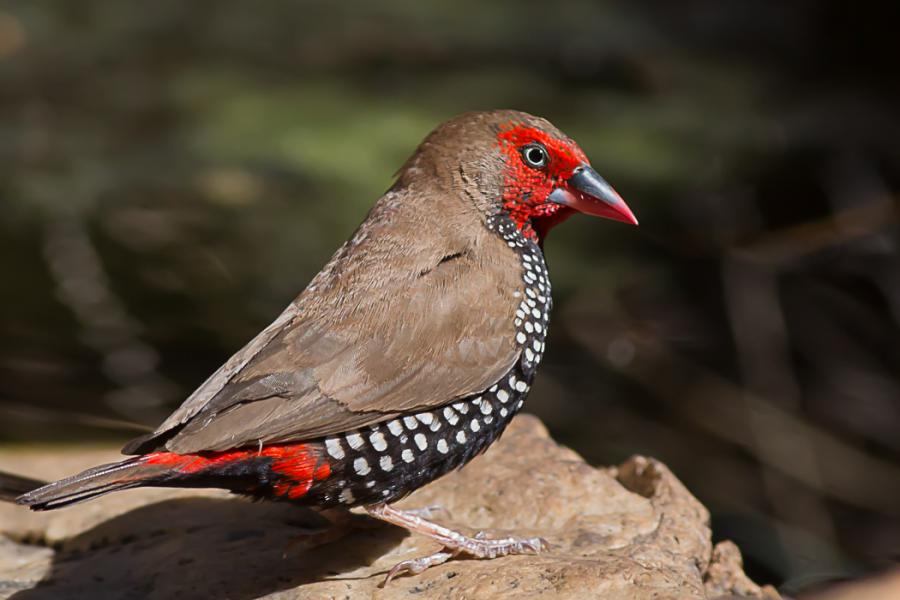 Painted Finch - Andrew Browne - Inala Nature Tours