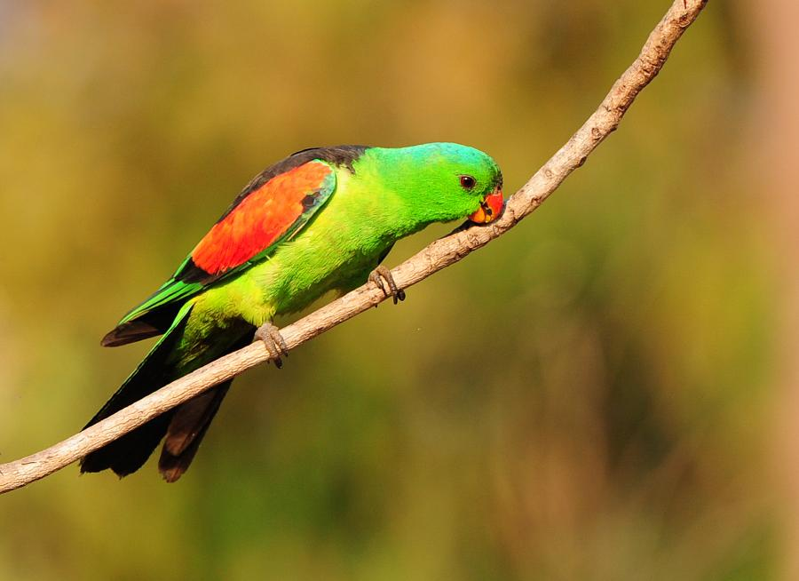 Red-winged Parrot - Photograph by Pat Kelly - Inala Nature Tours