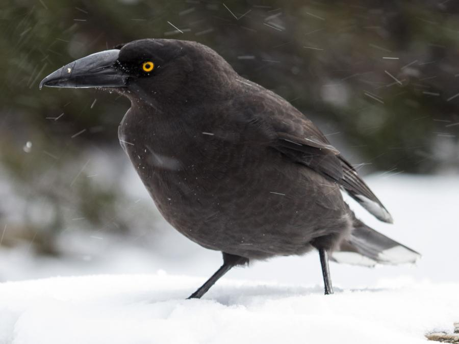 Black Currawong - Ramit Singal - Inala Nature Tours