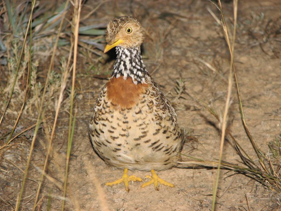 Plains Wanderer - Phil Maher - Inala Nature Tours