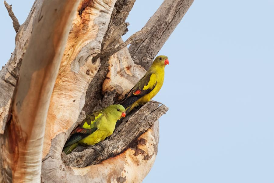 Regent Parrots - Keith Kennedy - Inala Nature Tours