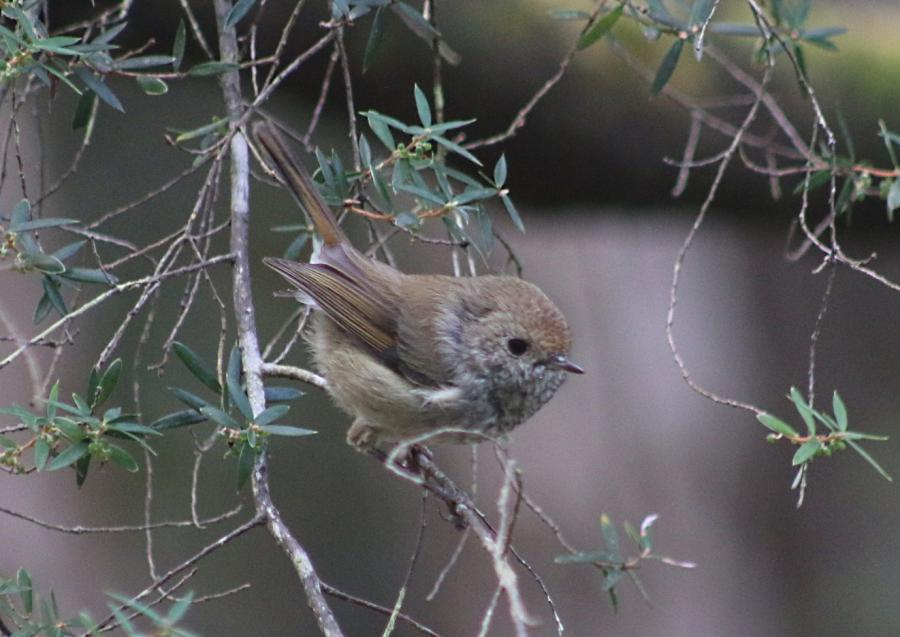 King Island Brown Thornbill - Catherine Young - Inala Nature Tours