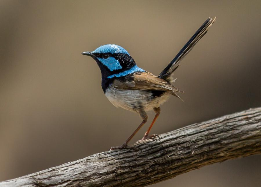 Superb Fairy Wren - Alfred Schulte - Inala Nature Tours
