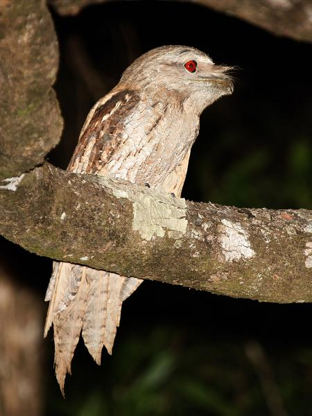 Papuan Frogmouth by Bob Lewis