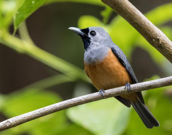 Black-faced Monarch - Dennis Braddy