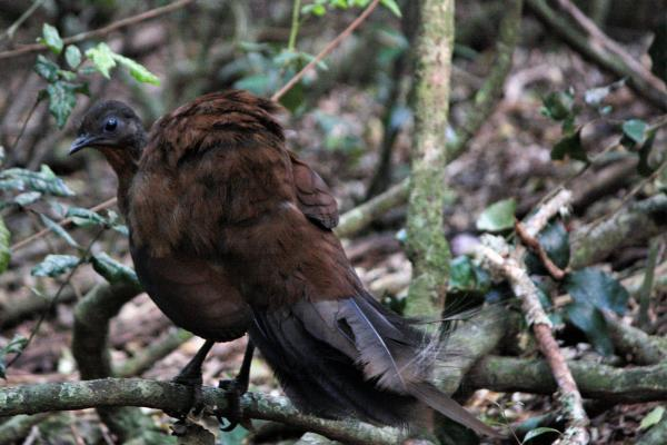 Albert's Lyrebird - Cat Davidson - Inala Nature Tours