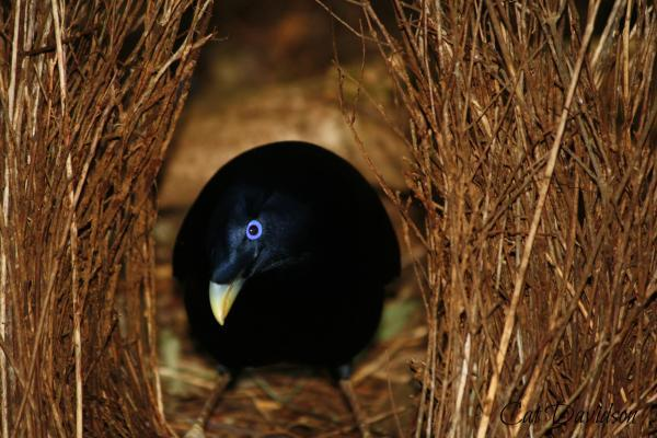 Satin Bowerbird - Cat Davidson - Inala Nature Tours