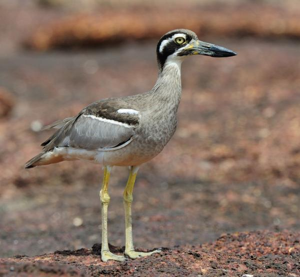 Beach Stone-curlew by Pat Kelly