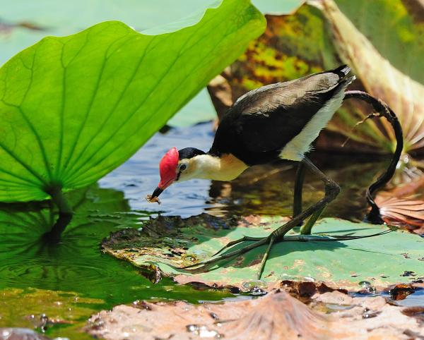 Comb-crested Jacana by Pat Kelly
